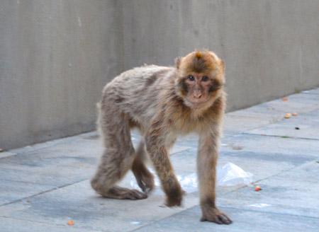 barbary-monkey