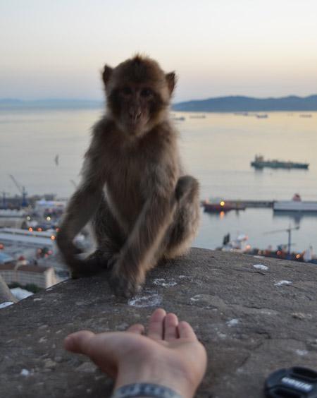gibraltar-rock-monkey