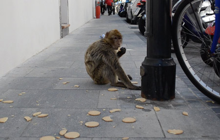 Monkeys in the street. They come down from the rock every now and then to steal stuff from the shops.