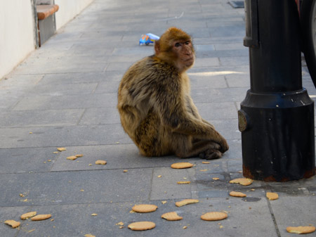 I never knew Gibraltar had casual monkeys in the street like this