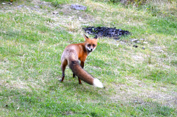 There were a lot of scarily tame foxes