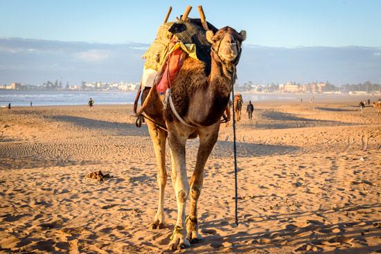 morocco-essaouira-campervan-camel