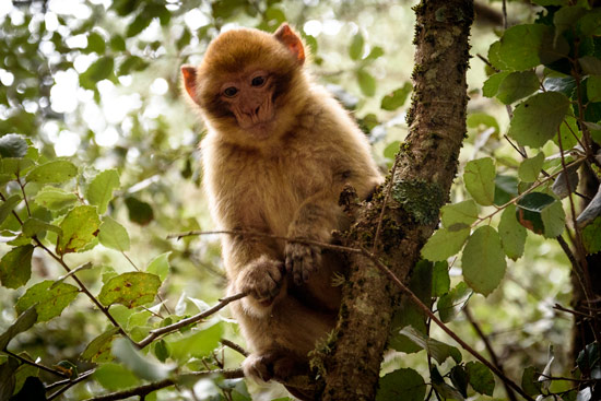 monkeys-in-morocco-cedar-forest-1