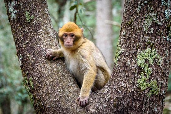 monkeys-in-morocco-cedar-forest-10