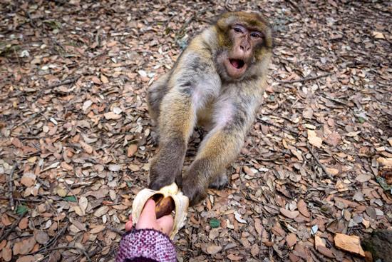 monkeys-in-morocco-cedar-forest-12