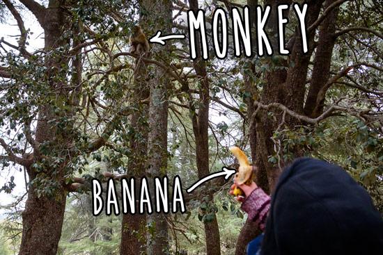 monkeys-in-morocco-cedar-forest-13