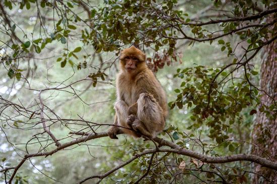monkeys-in-morocco-cedar-forest-2
