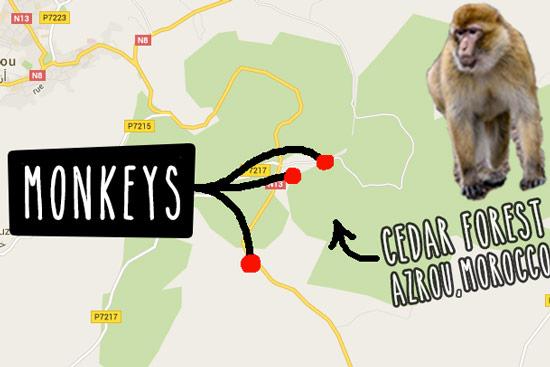 monkeys-in-morocco-cedar-forest-3