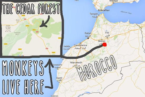 monkeys-in-morocco-cedar-forest-4