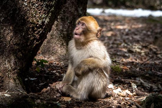 monkeys-in-morocco-cedar-forest-5