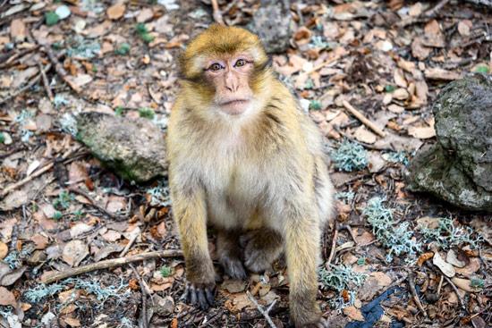 monkeys-in-morocco-cedar-forest-6