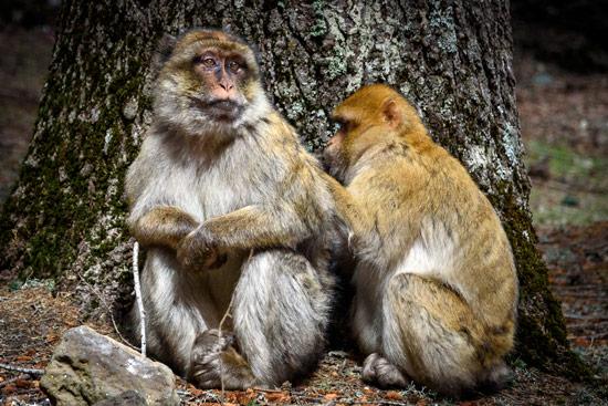 monkeys-in-morocco-cedar-forest-7