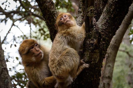 monkeys-in-morocco-cedar-forest-8
