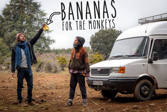 monkeys-in-morocco-cedar-forest-banana