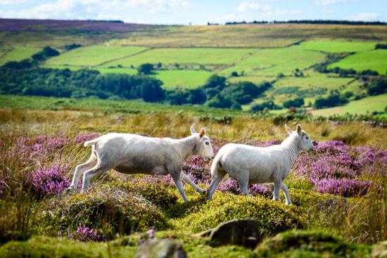 campervan-wildcamping-yorkshire-moors-sheep